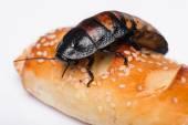 Madagascar hissing cockroach on white background — Stock Photo