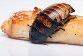 Madagascar hissing cockroach on white background — Zdjęcie stockowe