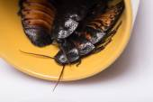 Madagascar hissing cockroach on white background — Stock Photo