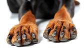 Close up of front legs by dog. — Stock Photo