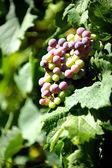 La vigne — Photo