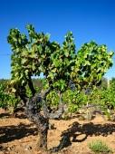 The vine — Photo