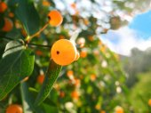 Wolfberry crescente — Foto Stock