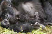 Gorilla mum with baby — Stock Photo