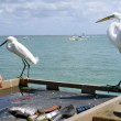 Постер, плакат: Egrets observe fish cleaning