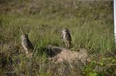 Burrowing owls on the ground — Stock Photo