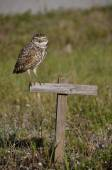 Burring Owl perched  on a stand — Stock Photo