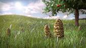 Morel mushrooms  in grass — Stock Photo