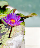 Waterlily, water lily floating in a stone pot — Stock Photo