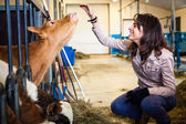 Teen petting calf — Stock Photo