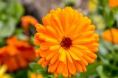 Orange calendula flower — Stock Photo