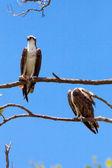 2 osprey on a tree — Stock Photo