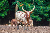 Funny long horn cow — Stock Photo