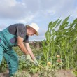 Farmer working his urban vegetable garden — Stock Photo #54263167