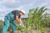 Farmer working his urban vegetable garden — Foto Stock