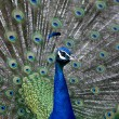 Close up of peacock showing its beautiful feathers — Stock Photo #55607567
