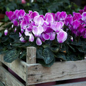 Pink cyclamen in wooden box for saling — Stock Photo