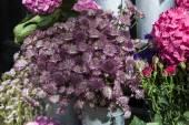 Astrantia flowers — Stock Photo