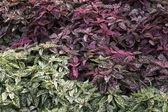 Polka dot plants — Stock Photo