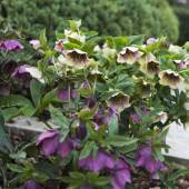 Stinking hellebore flowers — Stock Photo
