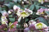 Stinking hellebore flowers — Stock Photo