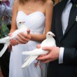 Wedding pigeons in hands of the groom and the bride — Stock Photo #62053959