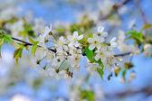 Bloeiende lentetuin — Stockfoto
