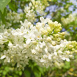 White lilacs blooming — Stock Photo #73604139