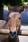 Przewalski horse  — Stock Photo