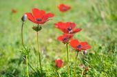 Wild Anemone (windflower) flowers blooming in the Israeli winter — Stock Photo