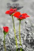 Beautiful Wild Anemone (windflower) for Valentine's Day - isolat — Stock Photo