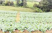 Cabbage field,Phu tabberk ,Petchabun,Thailand — Stock Photo