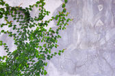 Green Creeper Plant growing on cement wall — Stock Photo