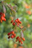Berries of barberry, Russia — Foto de Stock
