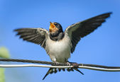 Young barn swallow begging for food, Russia — Stock Photo