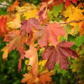 Colorful autumn leaves of maple, Russia — Stock Photo