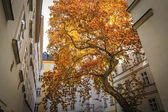 Old maple saved in the courtyard of the city of Vienna, Austria — Stock Photo