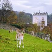 Fallow deer in the park of the largest monastery complex Heiligenkreuz, Austria — Stock Photo