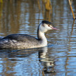 Great Crested Grebe floats in water, The Nethe — Stock Photo #61136661