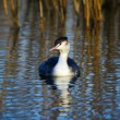 Great Crested Grebe floats in water, The Nethe — Stock Photo #61136631