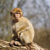Young Barbary macaque in a semi-free park, The Netherlands — Stock Photo