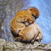 Adult female Barbary macaque with  cub, Netherlands — Stock Photo