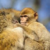 Portrait of a baby monkey holding on to his mother, Netherlands — Stock Photo