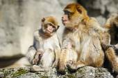 Young Barbary macaque next to an adult female, Netherlands — Stock Photo