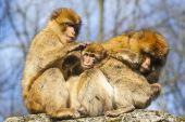 Portrait of a young Barbary macaque sitting between two adult females, Netherlands — Stock Photo