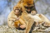 Group portrait of young Barbary macaque with two adult females, Netherlands — Stock Photo