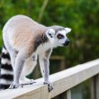 Portrait of lemur katta calling others group members — Stock Photo #70838793