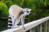 Portrait of lemur katta calling others group members — Stock Photo