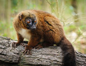Portrait of adult female red-billied lemur — Stock Photo