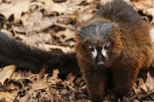 Portrait of adult male red-billied lemur on dry fallen leaves — Stock Photo